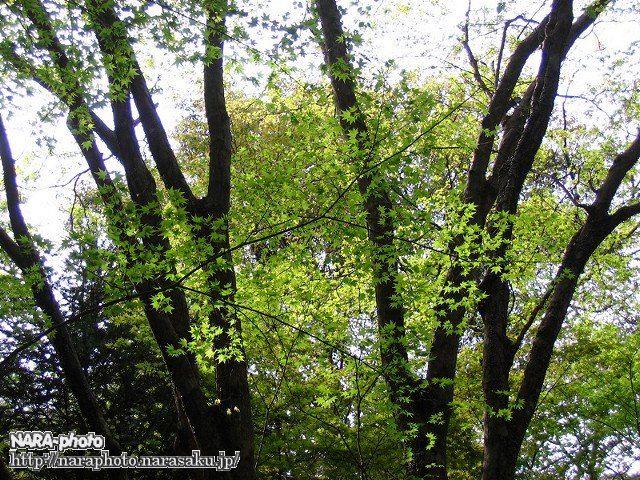 春日山遊歩道の新緑4
