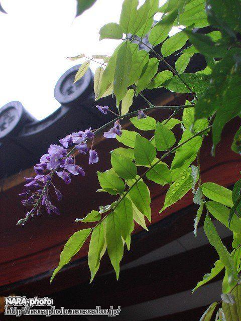 まだ花が咲いていた「左近の藤」