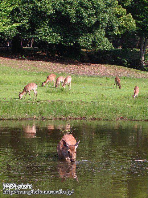 鹿が入水中(3)