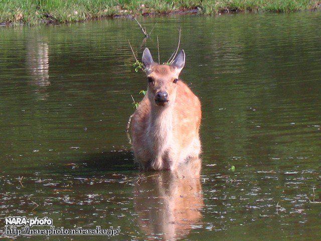 鹿が入水中(2)