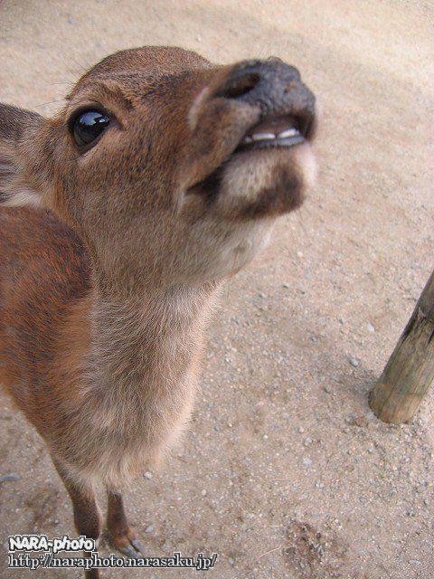 バンビと鹿せんべい7