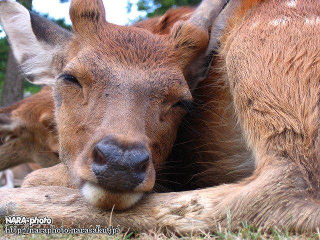 曲がる鹿・寝顔