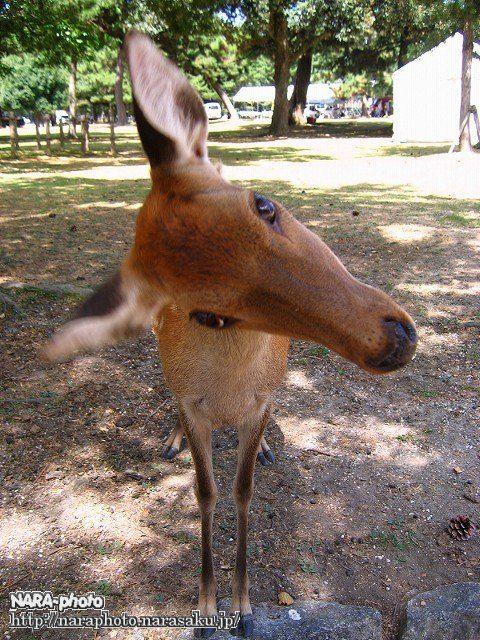 鹿ポートレイト5