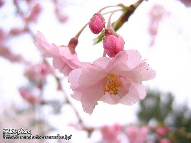 三重塔横の八重桜(2)