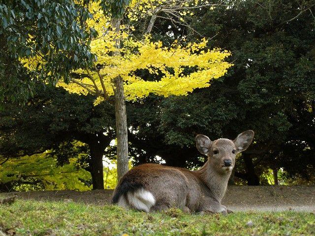 紅葉と鹿4