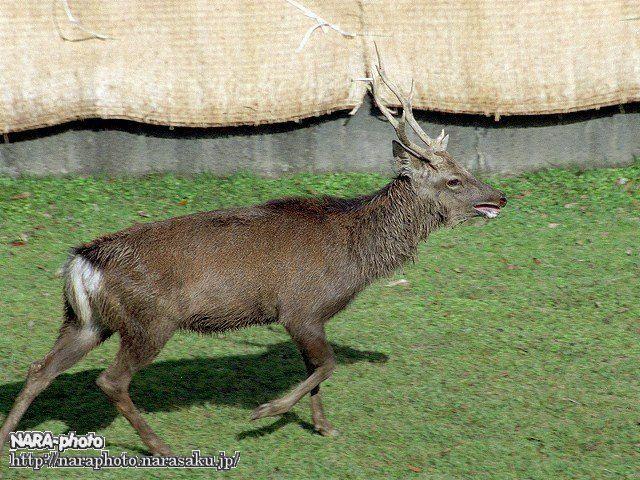鹿の角切り2