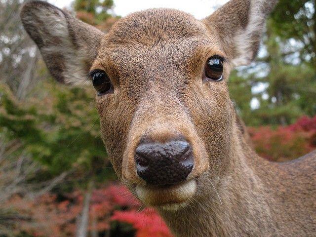 紅葉と鹿2