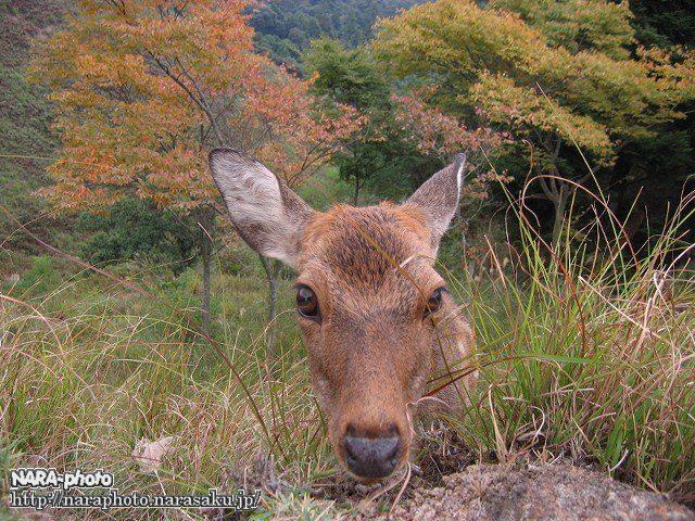 若草山の秋3