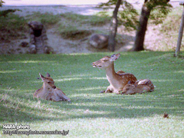 鹿のシエスタ