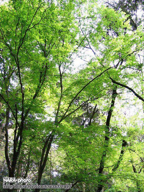 春日山遊歩道の新緑1