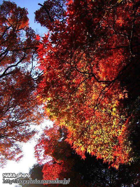 若草山の紅葉5