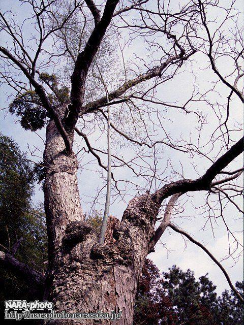 春日大社参道脇にあるムクロジ(5)(2002年)