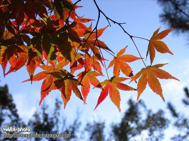 東大寺の紅葉3
