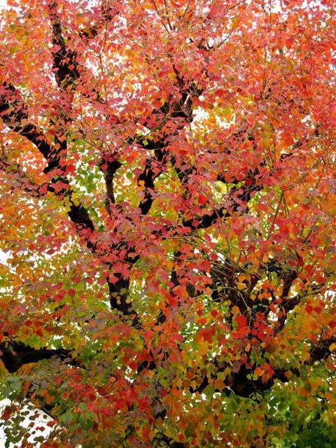 ナンキンハゼの紅葉1