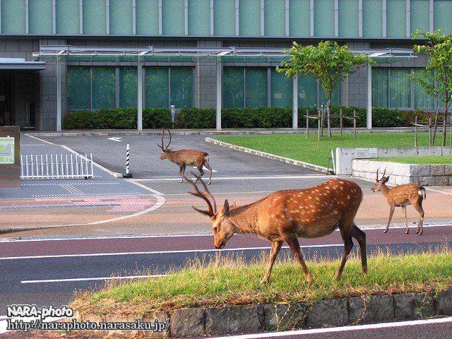 中央分離帯の鹿4