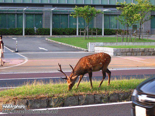 中央分離帯の鹿2