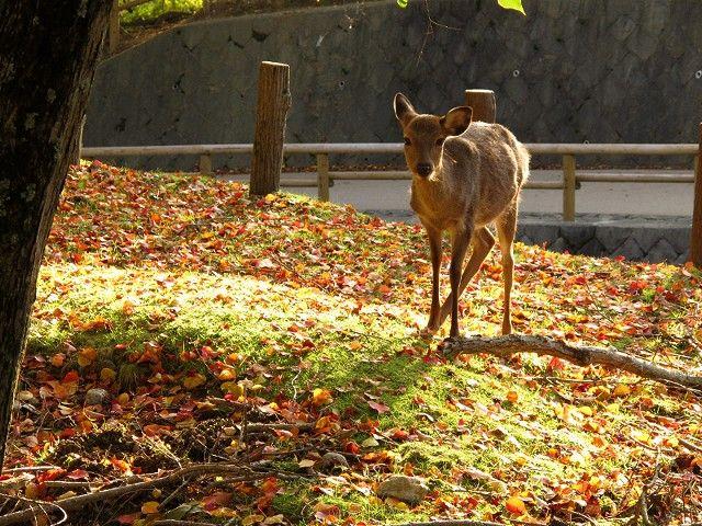 紅葉と鹿1