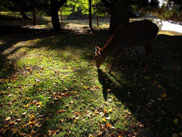 紅葉と鹿7