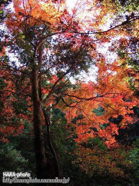 春日山遊歩道の紅葉5