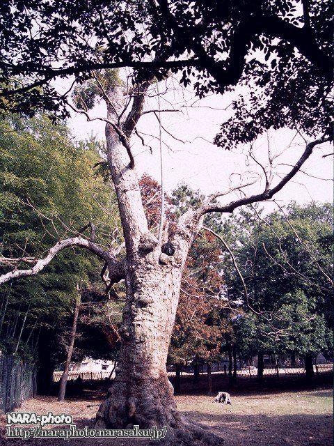 春日大社参道脇にあるムクロジ(4)(2002年)