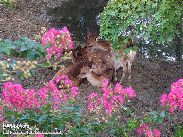 避暑中の鹿3