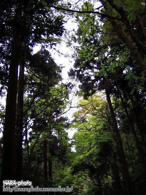 奈良奥山ドライブウェイの新緑(3)