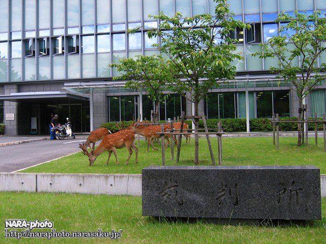 裁判所前の芝生を頬張る鹿達