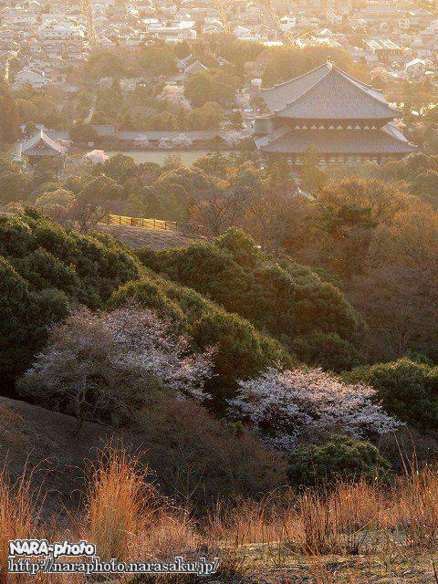 桜と大仏殿
