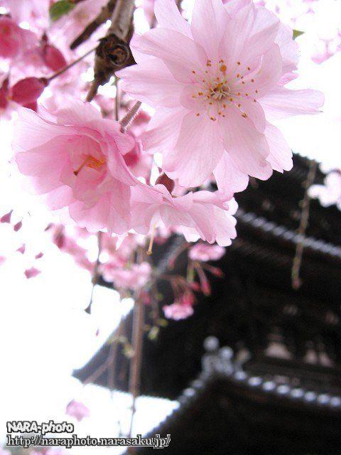 興福寺三重塔と八重桜