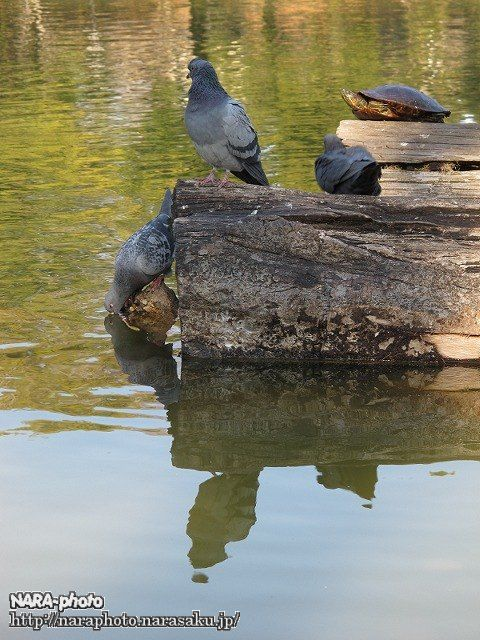 猿沢池・亀・鳩