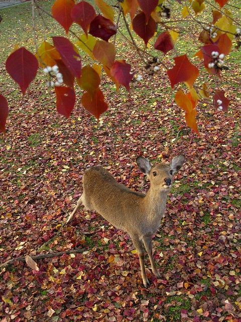 紅葉と鹿5
