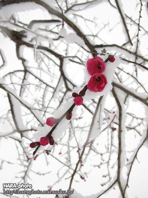 片岡梅林の梅1
