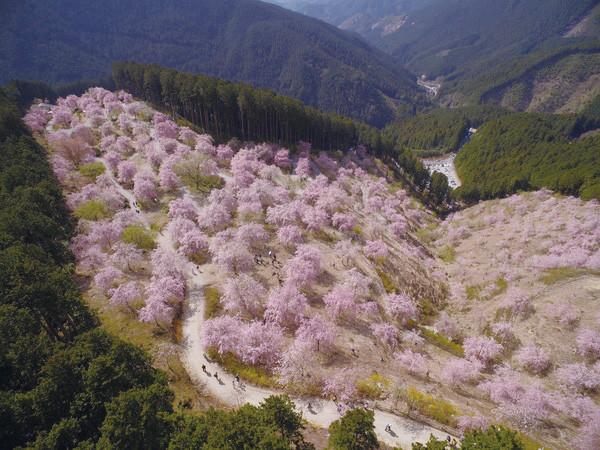 高見の郷桜