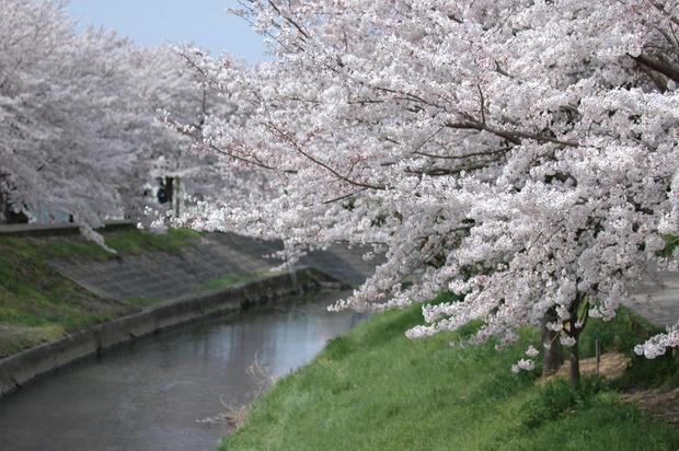 佐保川桜2