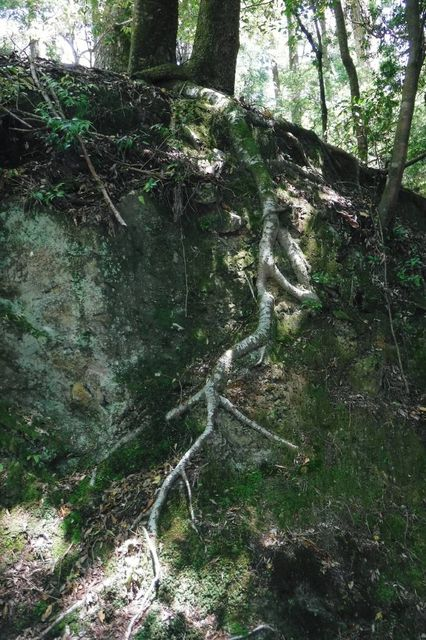 _DSCF0038  土が乏しい岩場でもたくましく根を伸ばす木が有る