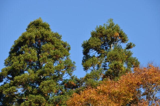 2.杉の勢いDSC_0007 まだ背が伸びる杉と限界近い杉(右)