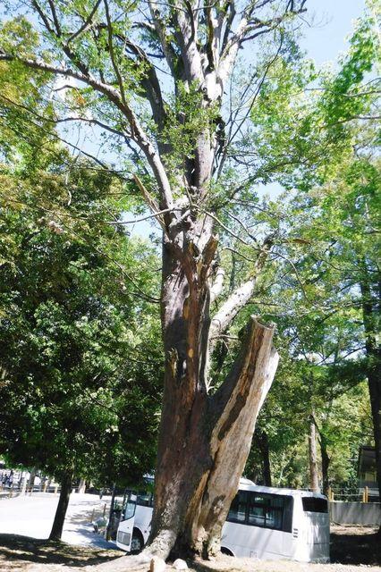 _DSCF0006  傷みながらも力強い大木。