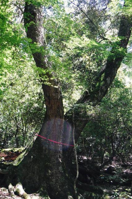 2019年05月22日_DSCF0019  巨樹