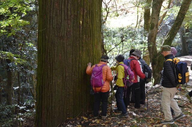 12.DSC_0064 春日山の最大とされる杉