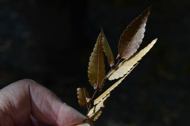 16.DSC_0067 ケヤキの実 実単独でなく葉を羽にして実を運ぶとか