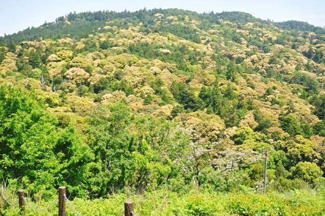 _DSCF0055常緑の杉・モミと、クヌギ・ケヤキ・ナラなど新緑と