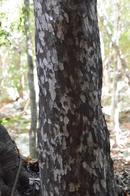 7.カゴノキDSC_0024 カゴノ木(鹿子の木)