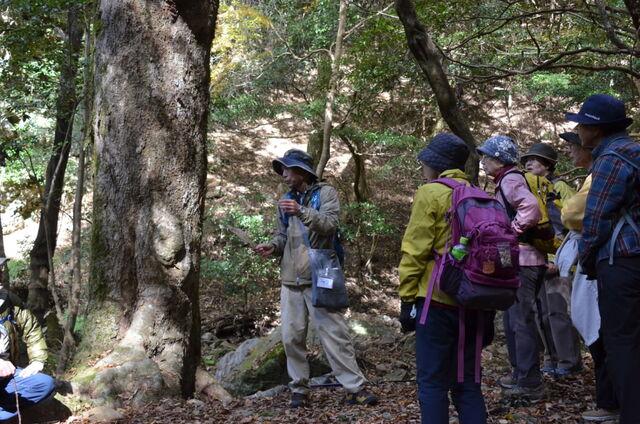 8.赤樫巨木DSC_0031 赤樫の巨木