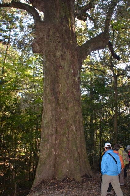 17.DSC_0089 イチイガシ(一位の樫)の巨木