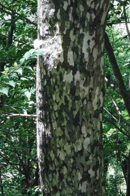 カゴノ木。部分的に5年ごとに樹皮が剥け落ちて鹿の子模様になる。