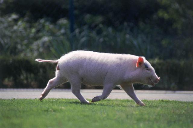 豚の画像 p1_22