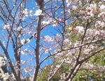 桜は5分咲き?