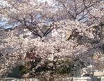 桜八分咲き?