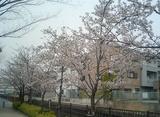 桜八分咲き?!