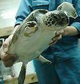 助けられたウミガメ